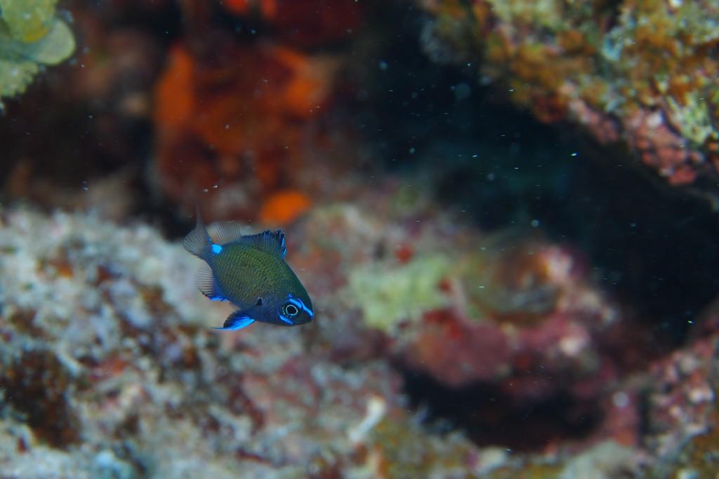 青がキレイなアマミスズメダイ幼魚