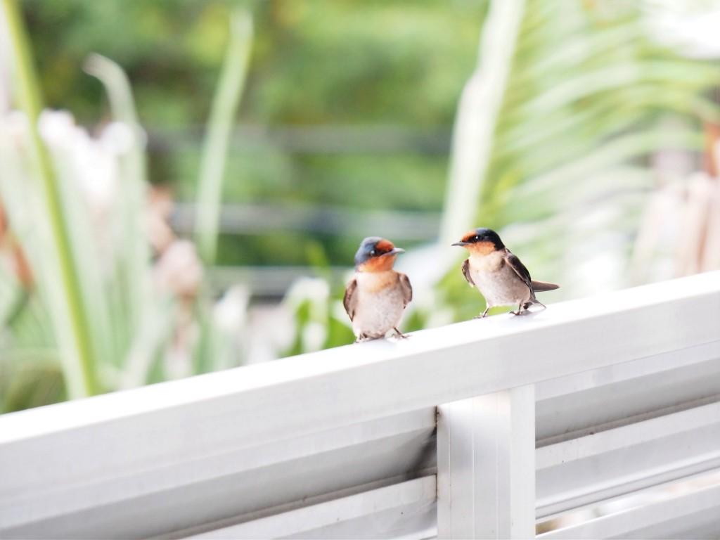 石垣島では春と秋の渡り途中らしい