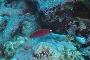 なかなか撮らせてくれない、、、、ニシキイトヒキベラ幼魚