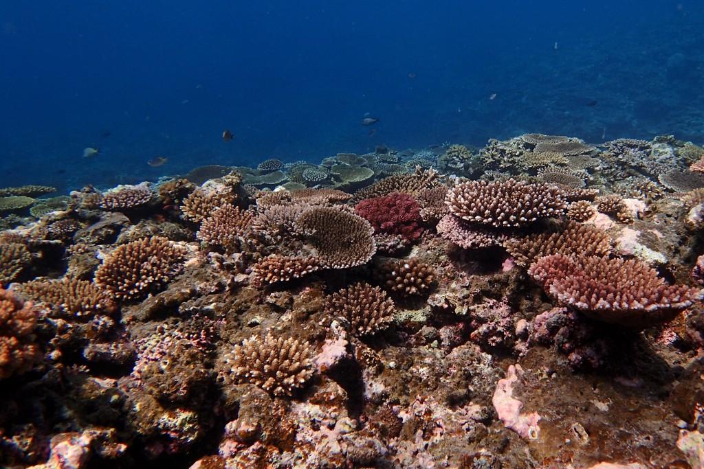 サンゴ、あります!(ST●●細胞風)