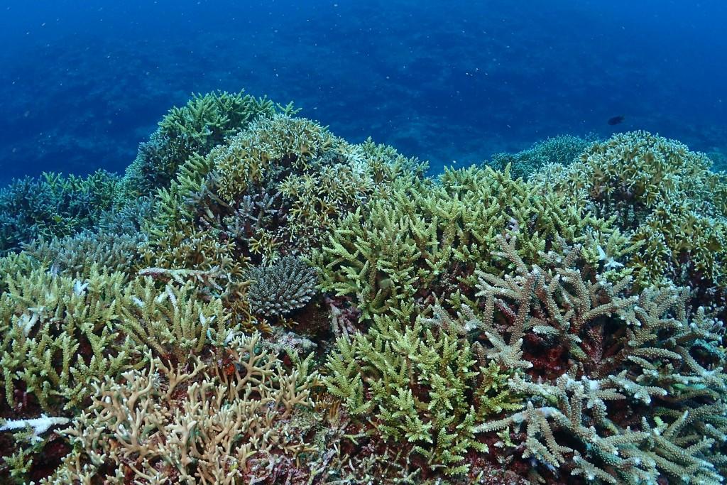 サンゴでどーーーん!