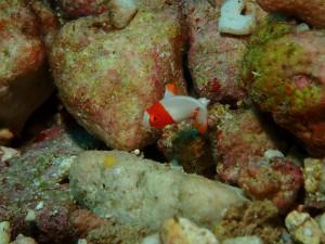 まるでオモチャのような色合い♪ イロブダイ幼魚