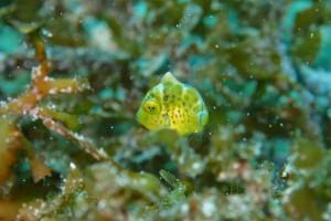 ぉおー♪ ノコギリハギ超幼魚( *´艸`)チッチェー