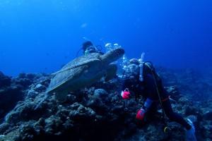 カメですか? いえ、アオウミガメです。(。-`ω-)ゥンゥン