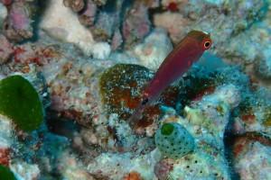 案外この手のベラ幼魚好きです。 クロヘリイトヒキベラ幼魚