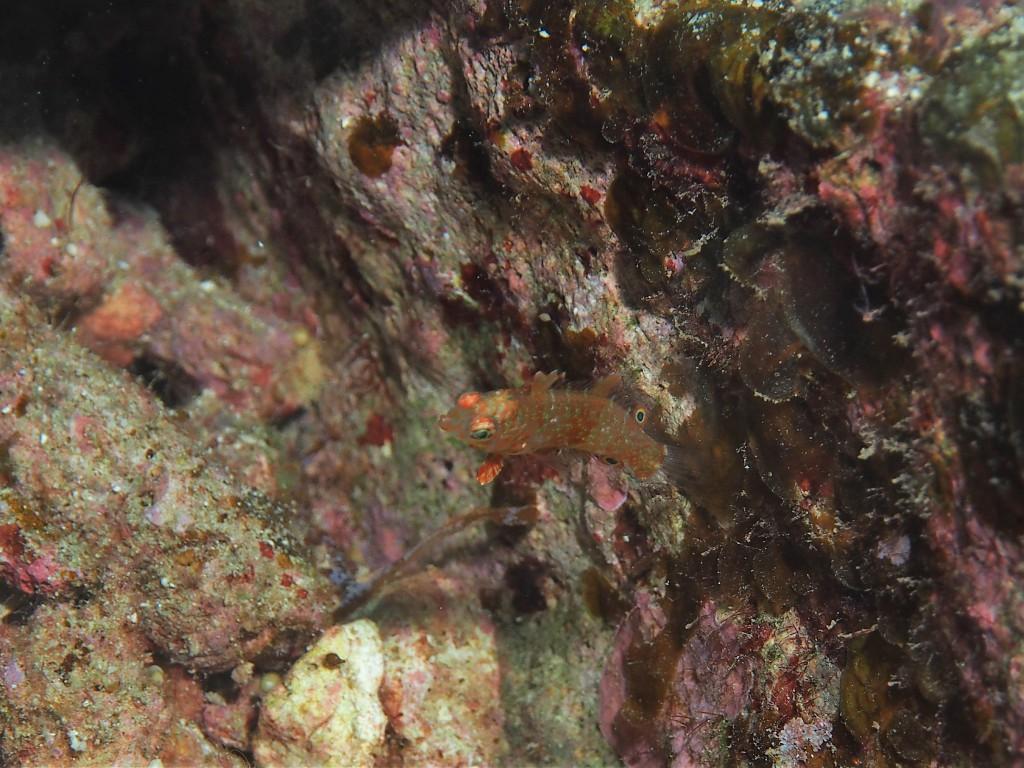 ヒ~ラヒ~ラ泳ぐちっこい奴 ナチグロベラの幼魚です。( ゚Д゚)チガウッテ!