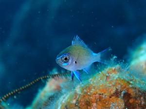 アマミ幼魚!