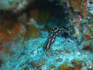 カノコベラ幼魚ゲットー♪