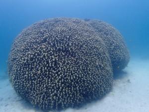 はい。大仏サンゴです。←爆爆爆